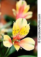 casablanca, flores