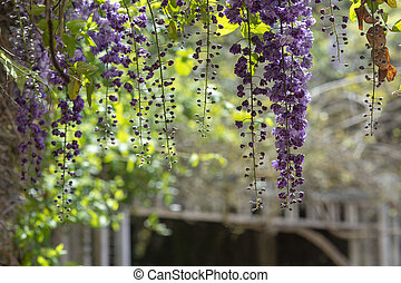 Cascade of bright blue and purple wisteria flowers