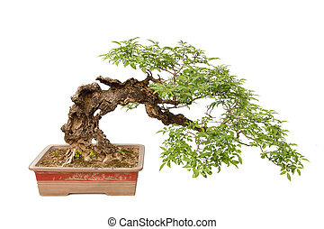 Cascade style bonsai tree on white