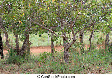 Cashew Grove - A picture of some trees in a cashew grove ...
