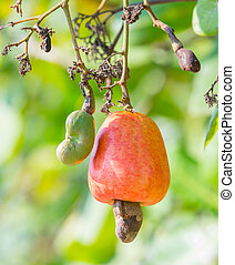 Cashew nut - Orange color cashew nut in garden