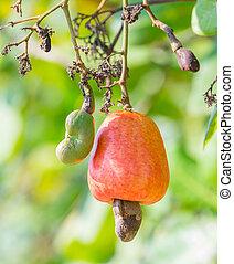 Cashew nut - Orange color cashew nut in garden