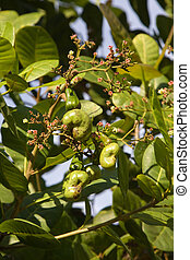 Cashew nuts growing on a tree.