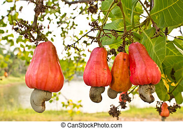 Cashew nuts growing on a tree .This extraordinary nut grows outside the fruit