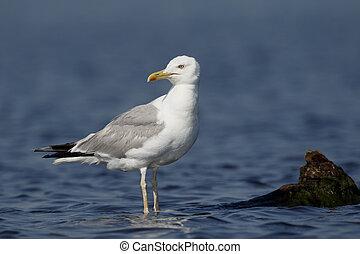 Caspian gull, Larus cachinnans, single bird on branch,...