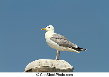 caspian gull resting