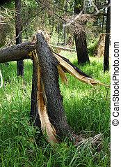 cassé, après, arbre, pin, orage