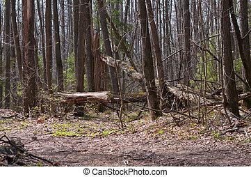cassé, forêt, arbres