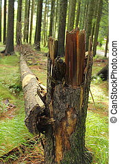cassé, vieux, forêt, arbre