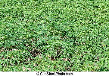 Cassava farm in thailand