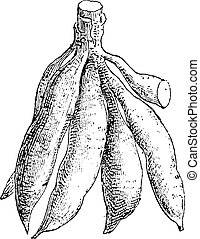 Cassava or Manihot esculenta, showing tuber, vintage engraved illustration. Dictionary of Words and Things - Larive and Fleury - 1895