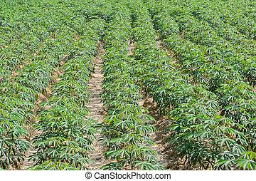 Cassava plantation  - Row of cassava plantation