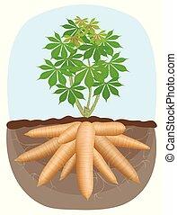 cassava tree plant, tapioca underground root, cassava...