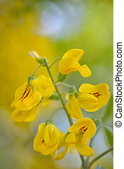 Cassia fistula flower