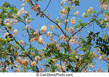 Cassia javanica flower on tree, Thailand