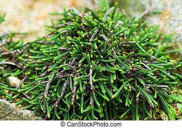 cassiope, japan, ericaceae