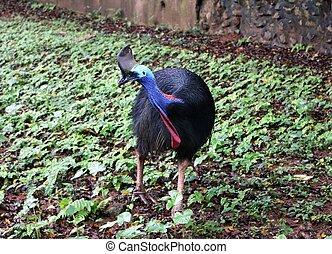 cassowary, πουλί , είναι , ratites, (flightless, πουλί , χωρίs , ένα , καρίνα , επάνω , δικό τουs , στέρνο , bone)