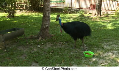 Handheld, medium wide shot of a cassowary in a zoo.