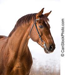 castaña, caballo, retrato, en, winter.