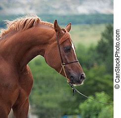 castaña, hermoso, árabe, horse., cicatrizarse