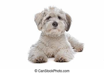 casta mezclada, perro, boomer