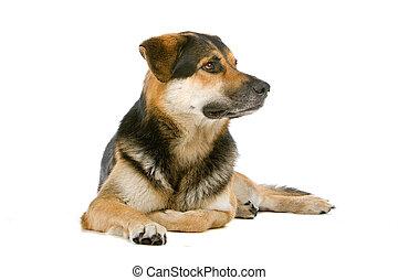 casta mezclada, perro