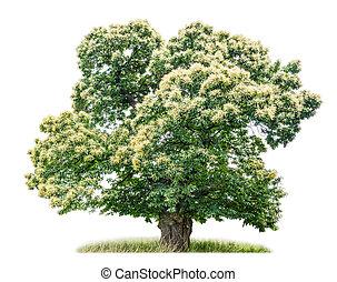 castagna, bianco, albero, isolato, fondo