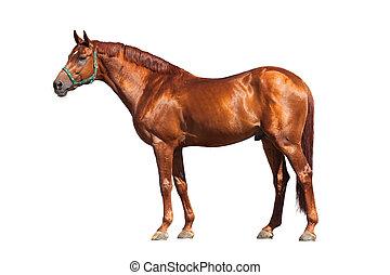 castanha, cavalo, branca, isolado