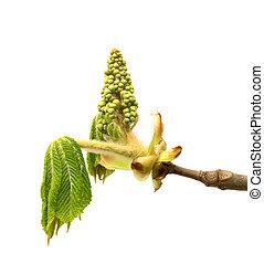 castanha, cavalo, flor, primavera, folhas, ramos, árvore, jovem, verde