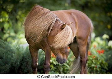 castanha, cavalo miniatura, retrato