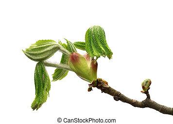 castanha, cavalo, primavera, folhas, árvore, jovem, verde, ramo