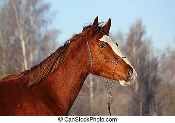 castanha, cavalo, retrato, em, inverno