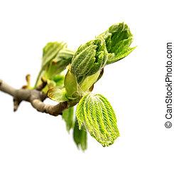 castanha, primavera, cavalo, ramo, árvore