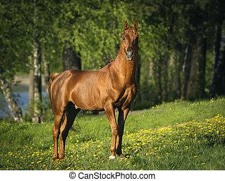 castanha, retrato, cavalo, árabe