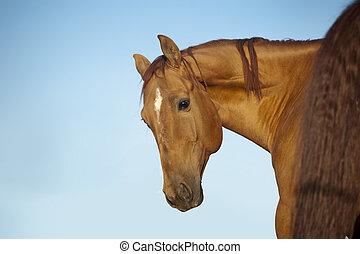 castanha, retrato, cavalo