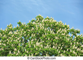 castanha, sativa), florescendo, (castanea, ramos