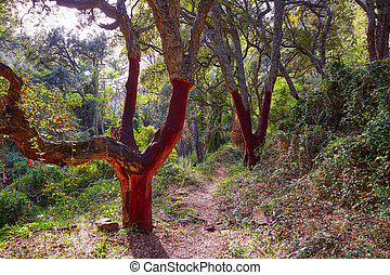 Castellon alcornocal in Sierra Espadan cork trees -...