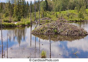 Castor canadensis beaver lodge in taiga wetlands - Beaver...