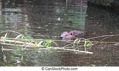 Castor canadensis swimming on the surface of a pond.