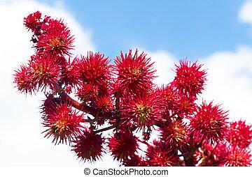 castor flowers in the sky - castor flowers against the blue...