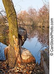 castor, gnawed, árvore salgueiro