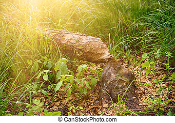 castor, gnawed, arbre