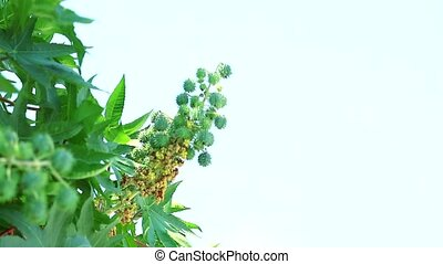 Castor oil plant Classified as a shrub or small perennial With a height of up to 6 meters
