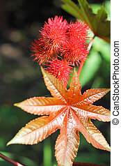 Castor oil plant (Ricinus communis) closeup