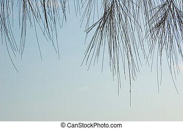 Casurina leaves