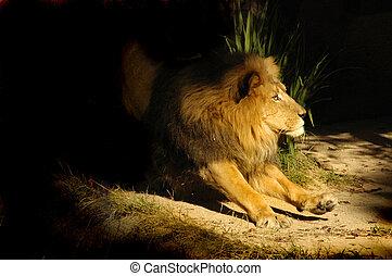 CAT 0047 Lion Walk - A large lion goes for a cat walk.