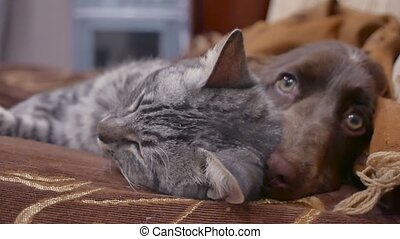 cat and a dog are friendship sleeping together indoors funny video. cat and dog