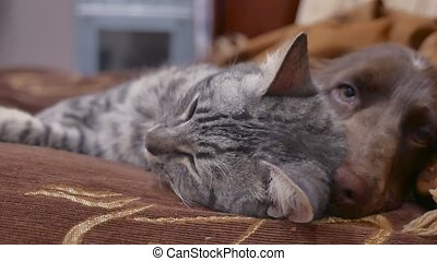 cat and a dog are sleeping friendship together indoors funny video. cat and dog