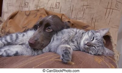cat and a dog are sleeping together funny video. indoors...