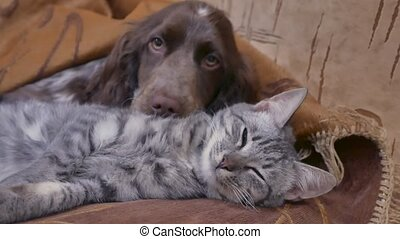 cat and a dog are sleeping together indoors friendship funny video. cat and dog